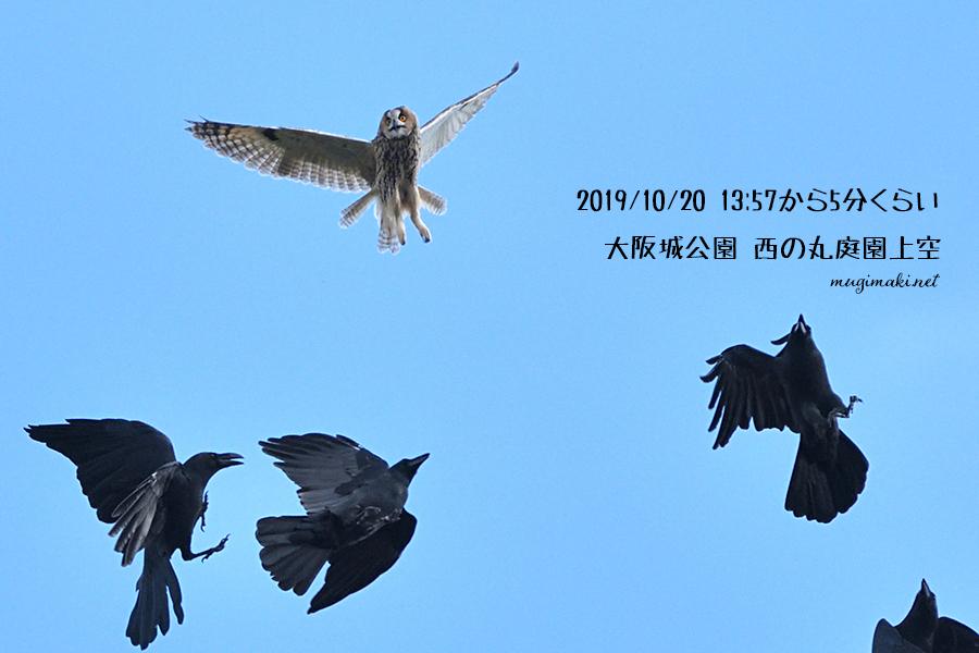 2019/10/20 探鳥(大阪城公園) 久しぶりにコミミズクに出会う